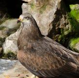 Beautiful eagle portrait Royalty Free Stock Photo
