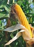Beautiful ear of corn maturity Stock Photography