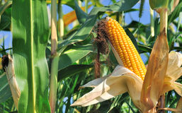 Beautiful ear of corn ripe Royalty Free Stock Image