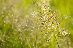 Beautiful ear of grass natural background stock photography