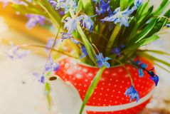 Beautiful early spring flowers,scilla siberica, in red teapot on white table. Beautiful early spring flowers, scilla siberica, in red teapot on white table Stock Images