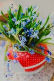 Beautiful early spring flowers,scilla siberica, in red teapot on white table. Beautiful early spring flowers, scilla siberica, in red teapot on white table Stock Photography