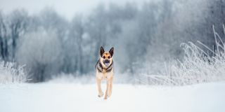 Beautiful East European Shepherd run at snowing winter stock photography