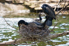 Beautiful east great cormorants at the nest Royalty Free Stock Photos