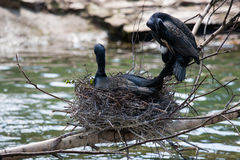 Beautiful east great cormorants at the nest Royalty Free Stock Photography
