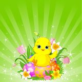 Beautiful Easter chick background Royalty Free Stock Images