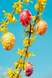 Beautiful Easter eggs hanging from Forsythia Royalty Free Stock Photography
