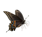Beautiful Eastern Black Swallowtail Royalty Free Stock Image