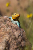 Beautiful Eastern Collared Lizard Stock Photography