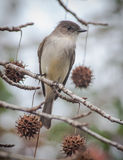 Eastern Phoebe Sitting in Sweetgum Royalty Free Stock Image