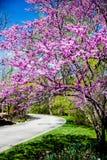 Beautiful; eastern redbud tree and plath stock photography