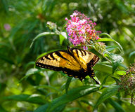 Beautiful Eastern Tiger Swallowtail butterfly (Papilio glaucus) Stock Photography