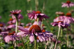 Beautiful Echinacea flower
