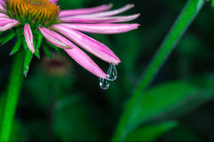 Beautiful Echinacea purpurea Stock Image