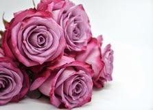 Beautiful Ecuadorian Rose Moody Blues. An example of beautiful Ecuadorian roses Stock Photo