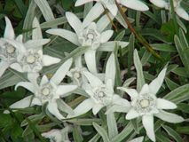 Beautiful edelweiss flowers in the french alps mountain. stock photography