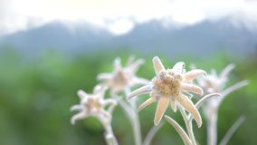 Beautiful edelweiss flowers, green mountains in blur background stock video