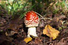 Beautiful edible mushroom. Stock Photography