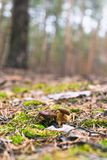 Beautiful edible mushroom in a pine forest.  stock image