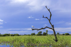 Beautiful Egret (Ardea alba) with a bird on the tree in Pantanal, Brazil Royalty Free Stock Photos
