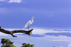 Beautiful Egret (Ardea alba) on the tree in Pantanal, Brazil Royalty Free Stock Photography