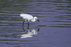 A beautiful Egret. Fishing in the lake, it has a clear reflection in the water, it looks very lovely Royalty Free Stock Photo