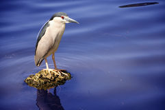 Beautiful egret standing on the lake. Beautiful egret standing on the blue water of the lake Royalty Free Stock Photos