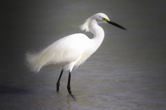 Beautiful Egret. A beautiful Egret walking in the ocean Stock Images