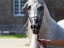 Beautiful white egyptian arabian horse. Beautiful egyptian arabian horse at a show royalty free stock photography