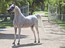 Beautiful white egyptian arabian horse. Beautiful egyptian arabian horse at a show stock images
