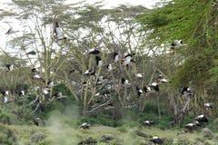 Beautiful Egyptian goose in flight Stock Photos