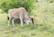 A beautiful Eland antelope grazing in the savannah. The Giant Eland antelope is largest entelope in the world Royalty Free Stock Photography