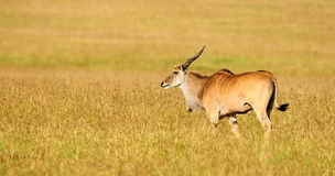 Beautiful eland grazing in the Bush. Eland (Taurotragus oryx)l argest of the african antilopes, grazing in the savanna Stock Photos