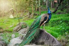 The beautiful of the peacock male in nature stock photos