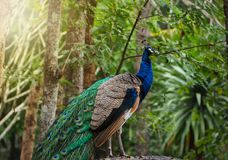 The beautiful of the peacock male in nature royalty free stock photos