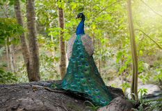 The beautiful of the peacock male in nature royalty free stock images