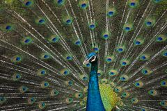 The beautiful of the peacock male in nature royalty free stock photo