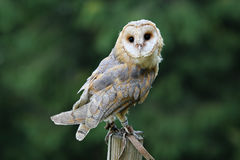 Beautiful elegant barn owl Stock Photo
