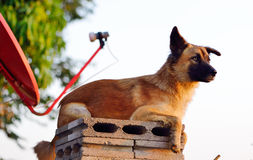 Beautiful and elegant  dog lying in wait for their prey Royalty Free Stock Photo