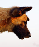 Beautiful and elegant  dog lying in wait for their prey and prep Stock Images