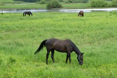 Horse herd in field royalty free stock image