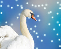 Beautiful elegant Swan against a falling snow and blue sky background Royalty Free Stock Photo