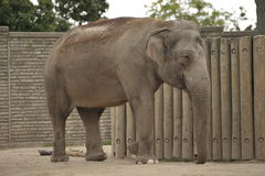 Beautiful elephant. Big beautiful female elephant walking Stock Photography