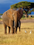 Beautiful Elephant with Cattle Egrets. Elephant in the beautiful landscape of Amboseli National Park in Kenya royalty free stock photos