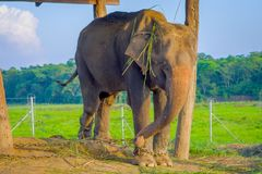 Beautiful elephant chained in a wooden pillar under a tructure at outdoors, in Chitwan National Park, Nepal, cruelty. Concept stock image