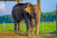 Beautiful elephant chained in a wooden pillar under a tructure at outdoors, in Chitwan National Park, Nepal, cruelty. Concept stock photo
