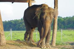 Beautiful elephant chained in a wooden pillar under a tructure at outdoors, in Chitwan National Park, Nepal, cruelty. Concept royalty free stock images