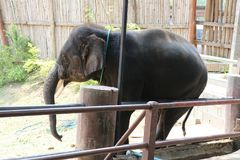 BEAUTIFUL ELEPHANT IN CHIANG MAI, THIALAND stock images