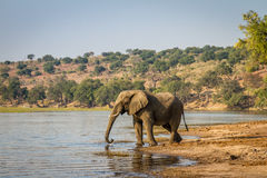 Beautiful elephant in Chobe National Park in Botswana. Africa Stock Images