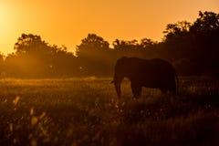 Beautiful elephant in Chobe National Park in Botswana. Africa Stock Image